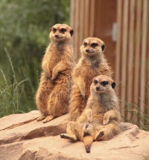 meerkat-1847835_1920