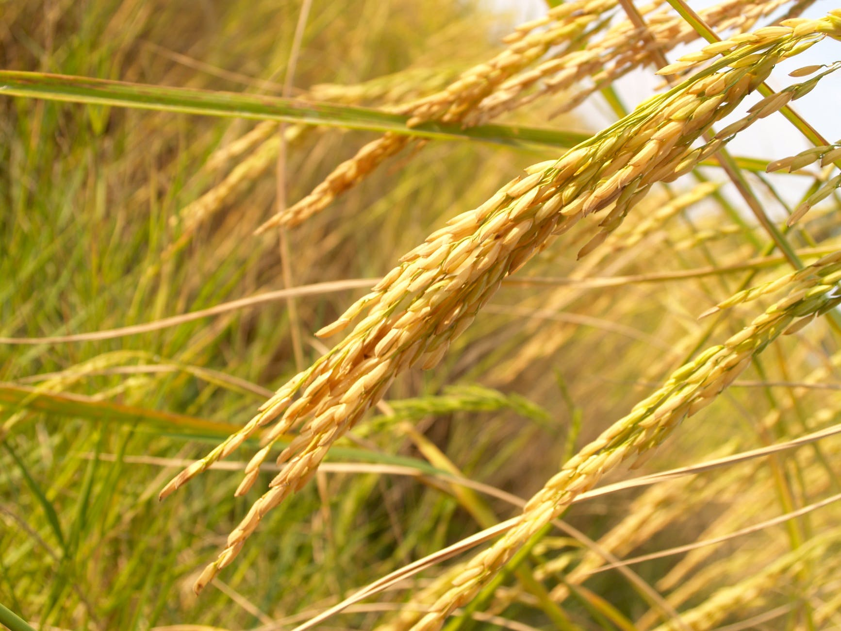agriculture-asia-autumn-botany-162992.jpeg